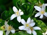 پایان برداشت شکوفه های بهار نارنج از باغات مرکبات گیلان