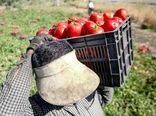 آغاز خرید حمایتی گوجه فرنگی توسط تعاون روستایی خوزستان