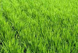 افزایش تولید و درآمد برای کشاورزان با اجرای طرح 550 هزار هکتاری در استان خوزستان