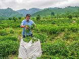 تولید 30 هزارتنی چای در کشور