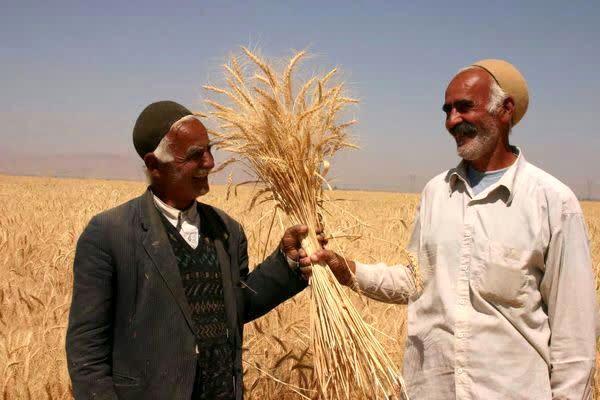 ۱۰۰ درصد بهای گندم خریداری شده به کشاورزان چهارمحال و بختیاری پرداخت شد