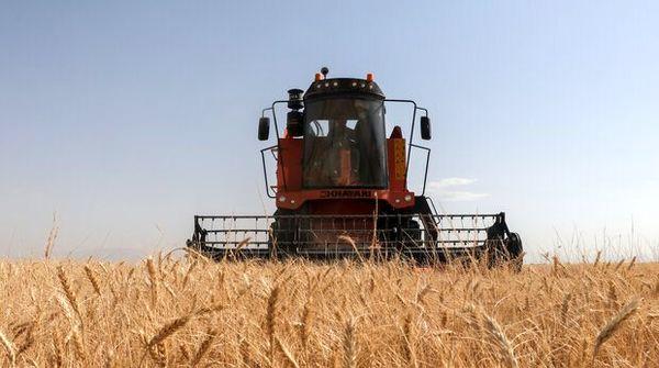 برداشت گندم در گلپایگان ۱۱.۳ درصد کاهش داشت