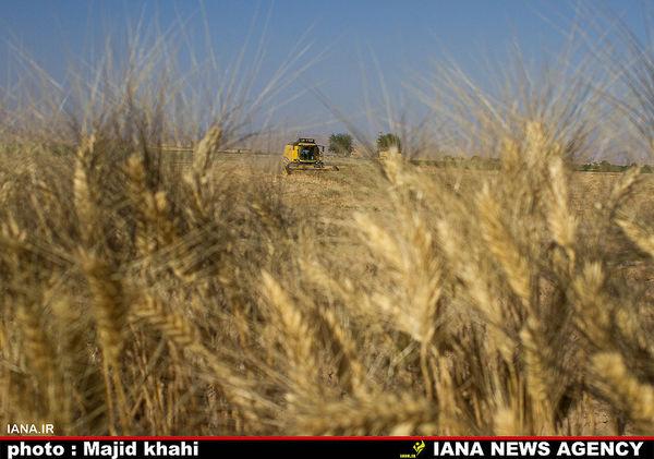 افزایش ۲۵ درصدی عملکرد در هکتار گندم دیم هدف پروژه مشترک ایران-سیمیت