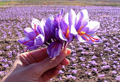 در جهان هر گرم زعفران را 5 یورو میخرند؛ در ایران 30 سنت هم نمیخرند!/ سایت بستان؛ الگوی تولید گیاهان دارویی بومی