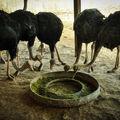 جویای کار بودم، با پرورش شترمرغ کارآفرینی کردم