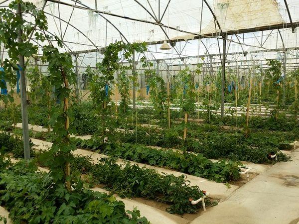 ایجاد نخستین نهالستان انگور گلخانهای خراسان شمالی در مانه و سملقان