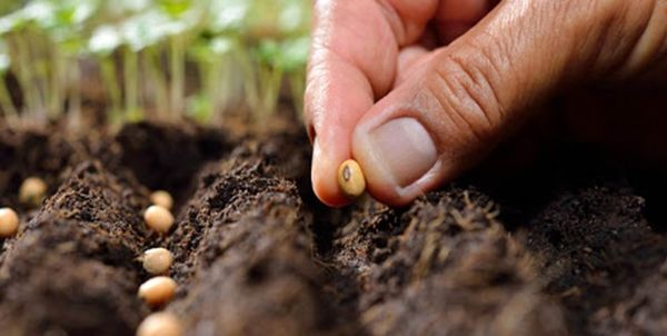 توزیع بیش از 36 هزار تن انواع بذر در بین کشاورزان ایلامی