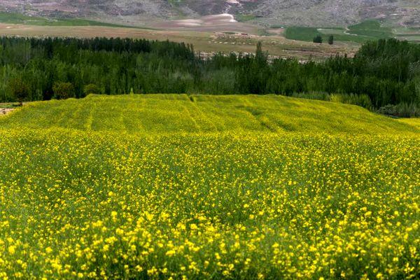 کشت پاییزه کلزا در چهارمحال و بختیاری آغاز شد