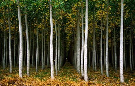 توسعه زراعت چوب به توقف بهرهبرداری از جنگل های شمال کمک میکند