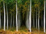 227 هزار هکتار عملیات زراعت چوب در کشور انجام شده است