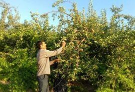 پیشبینی برداشت بیش از یک هزارتن سیب گلاب در باغات شهرستان اردل