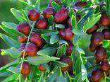پیش بینی برداشت 1200 تن عناب از سطح باغات سربیشه
