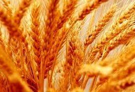 خرید 60 هزارتُن گندم در خراسان شمالی
