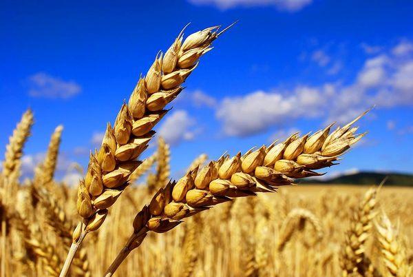 خرید 3.2 میلیون تن گندم تا 13 تیر