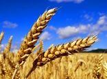 برداشت خوشه های طلایی از گندمزارهای شهرستان بروجن آغاز شد