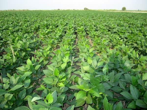 پیشبینی تولید 2300 تنی سویا در میاندورود