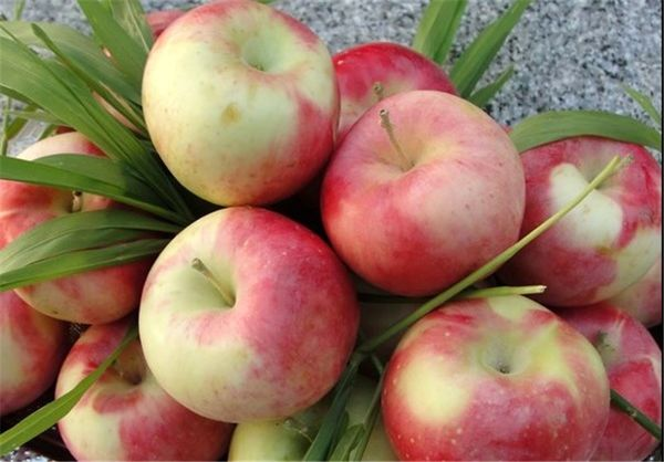 سرمازدگی بهاره و خشکسالی عاملان کاهش تولید سیب گلاب در استان اصفهان است