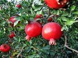 اصفهان رتبه چهارم تولید انار کشور را داراست