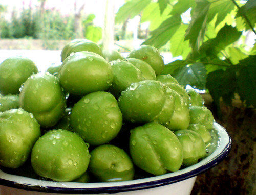 آغاز برداشت گوجه سبز در گیلان