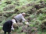آغاز برداشت گیاهان کوهی خوراکی در آذربایجانغربی