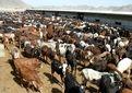 تلقیح مصنوعی گاوهای بومی سیستان وبلوچستان آغازشد