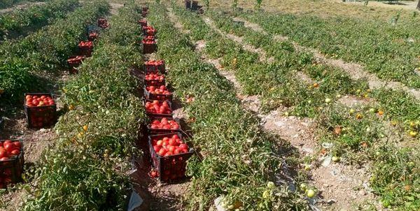 خرید تضمینی 26 هزار تن گوجه فرنگی در کردستان