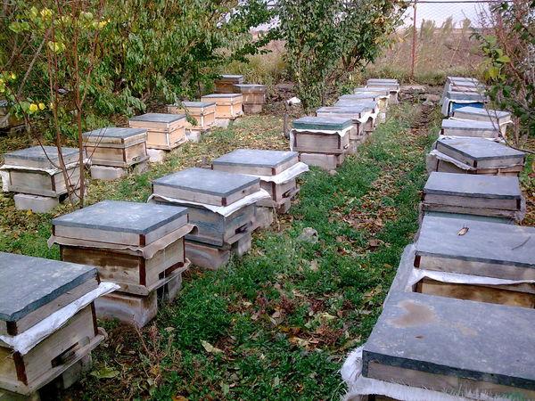 560 تن عسل در زنبورستانهای شهرستان قزوین تولید شد