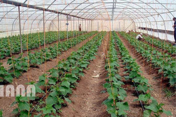 تحقق 107 درصدی اهداف توسعه گلخانهها در بهار امسال