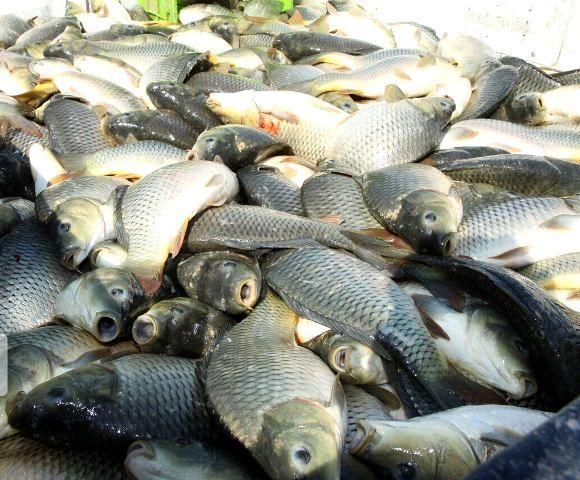 تولید ۳ هزار و ۸۷۰ تُن ماهی در کردستان در سال جاری