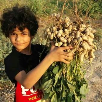 """""""رستم"""" به جمع تولید کنندگان بادام زمینی پیوست"""