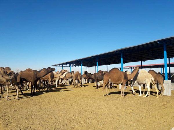 ضرورت توسعه پرورش شتر در مناطق مستعد کشور
