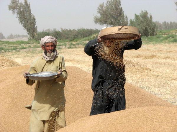 31 هزارتن گندم مازادخریداری شد
