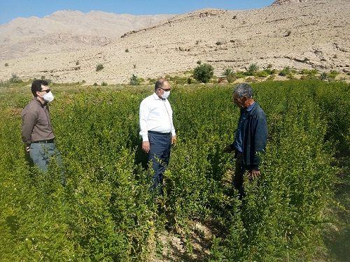 تولید نهال انار واندرفول در داراب