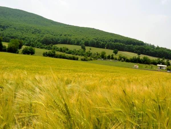 180 هکتار گندم و جو در قائم شهر کشت شد/ توزیع 28 تن بذر