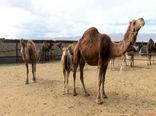 فعالیت 8 واحد پرورش شتر در شهرستان انار