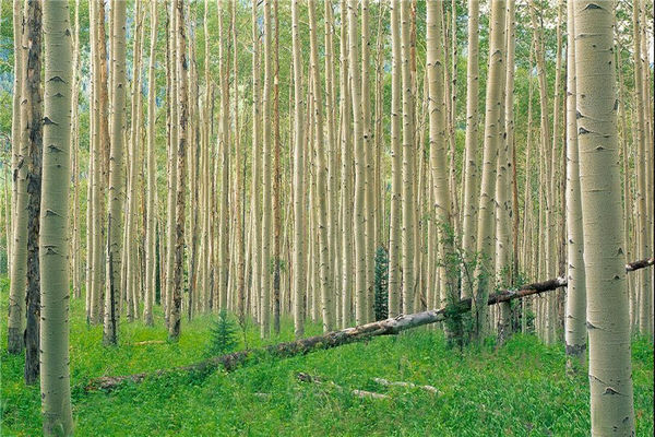 32 هزار هکتار جنگل دست کاشت در مهران وجود دارد