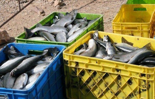 ضبط و معدومسازی 215 کیلوگرم ماهی منجمد در شهرستان کیار