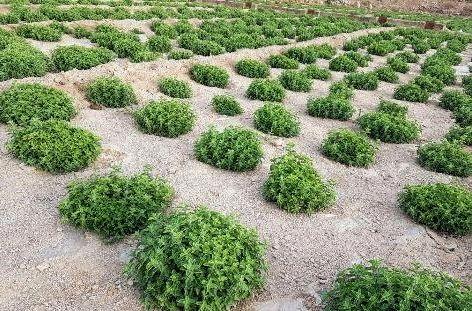 کشت ۲۸ گونه گیاهان دارویی در یزد