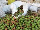 افزایش ۵ هزار تنی برداشت گردو در کردستان
