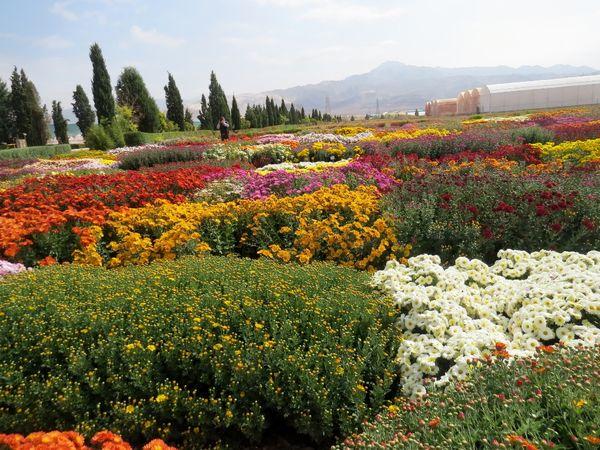 استفاده از پرتو تابش اشعه گاما در تولید گلهای داوودی پُرپَر