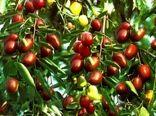 اجرای نهضت عمومی کاشت درخت عناب