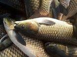 برداشت  ۳ هزار تن ماهی از مزارع پرورشی استان ایلام