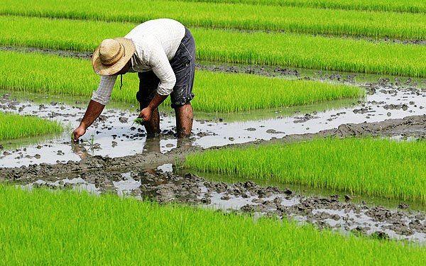 از دلالان و تجار برنج نمیخریم،فقط کشاورزان
