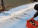 برداشت ماهیان گرمابی از استخرهای پرورشی نهبندان