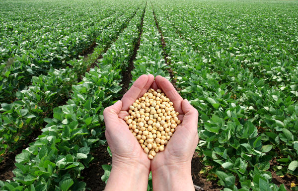 خرید 4 هزار تن سویا از کشاورزان مازندرانی