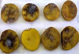 نمونه مناسب قارچکش برای کنترل بیماری سفیدک کرکی سیب زمینی چیست؟