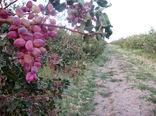 برداشت پسته در سطح 2 هزار هکتار از باغات بارور شهرستان بم