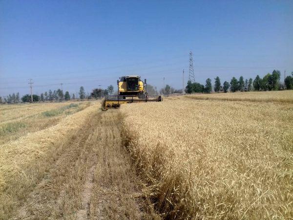 تولید سالانه ۱۵۰ هزار تن گندم در شهرستان دهلران