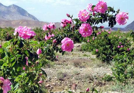 پیشبینی برداشت ۷۵۰ تن گل محمدی