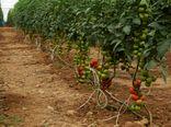 وسعت گلخانههای آذربایجان شرقی 2 برابر میشود